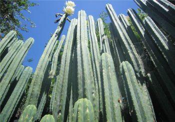 Huachuma Visionary Cactus