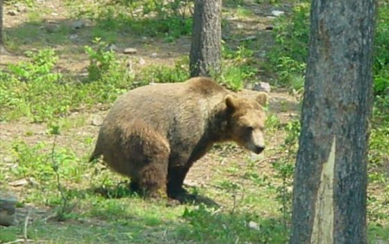 bearpooping